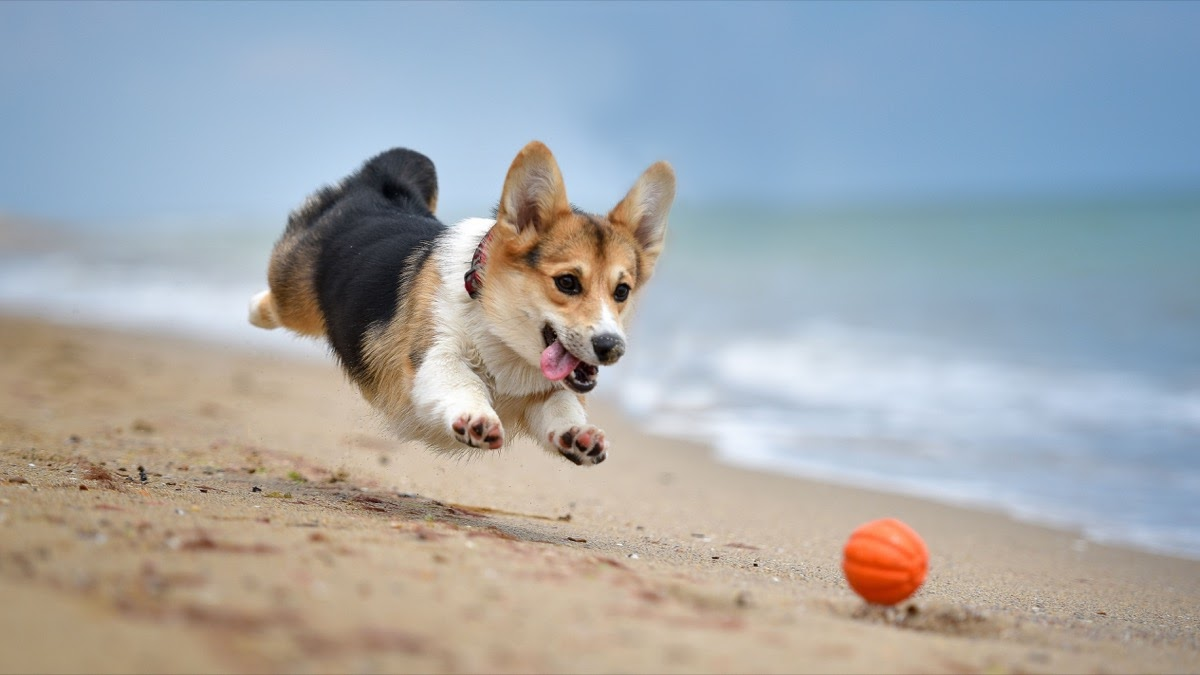 Corgi playing on the beach