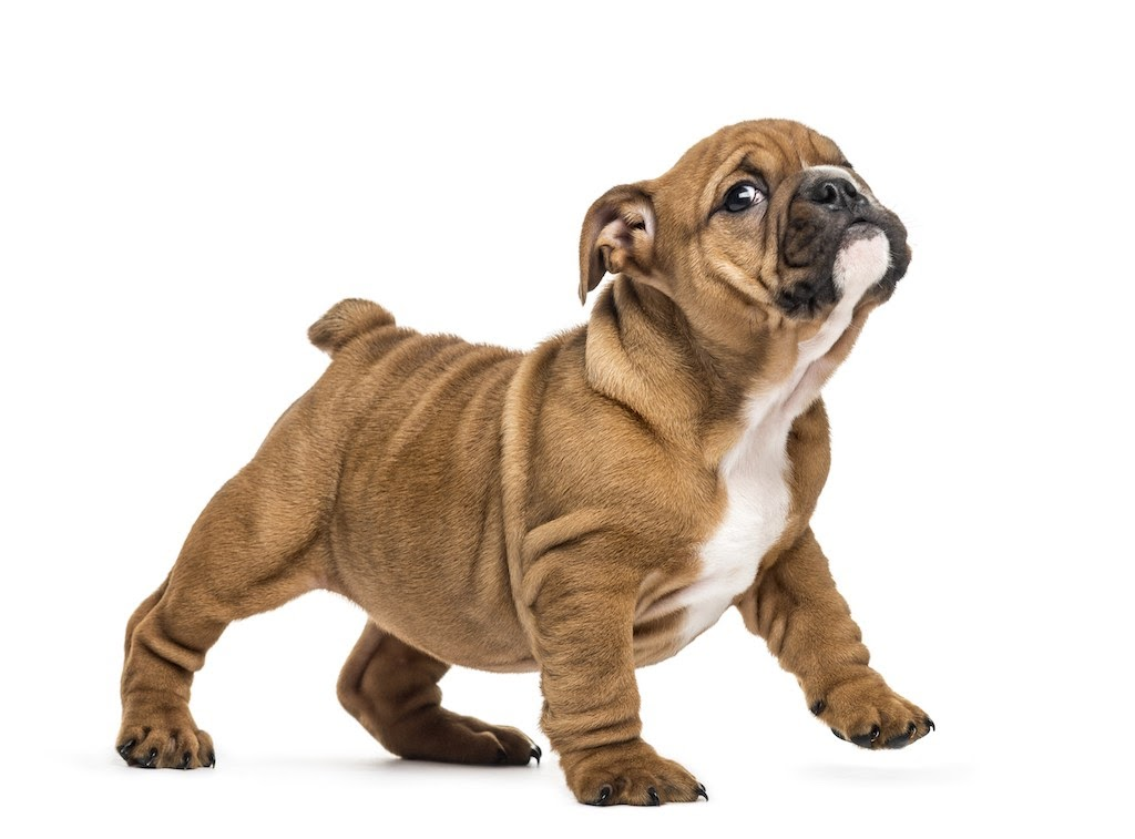british-bulldog
