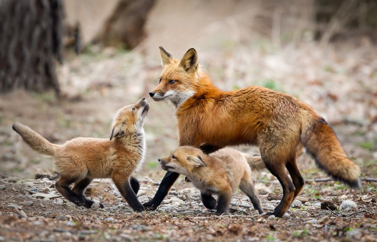 17-facts-about-foxes-habits-bloodless-hunting-and-other-interesting-unknown-things