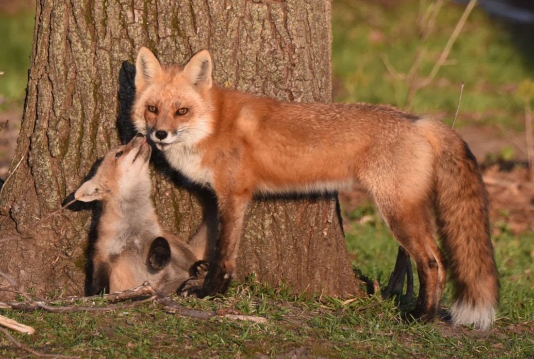 Fox family makes for great observation | News, Sports, Jobs - Times  Republican