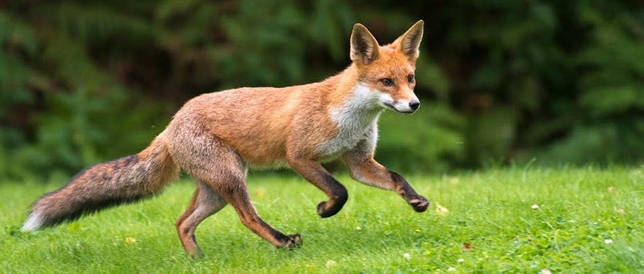 Foxes have been scavenging from humans for 42,000 years - BBC Science Focus  Magazine
