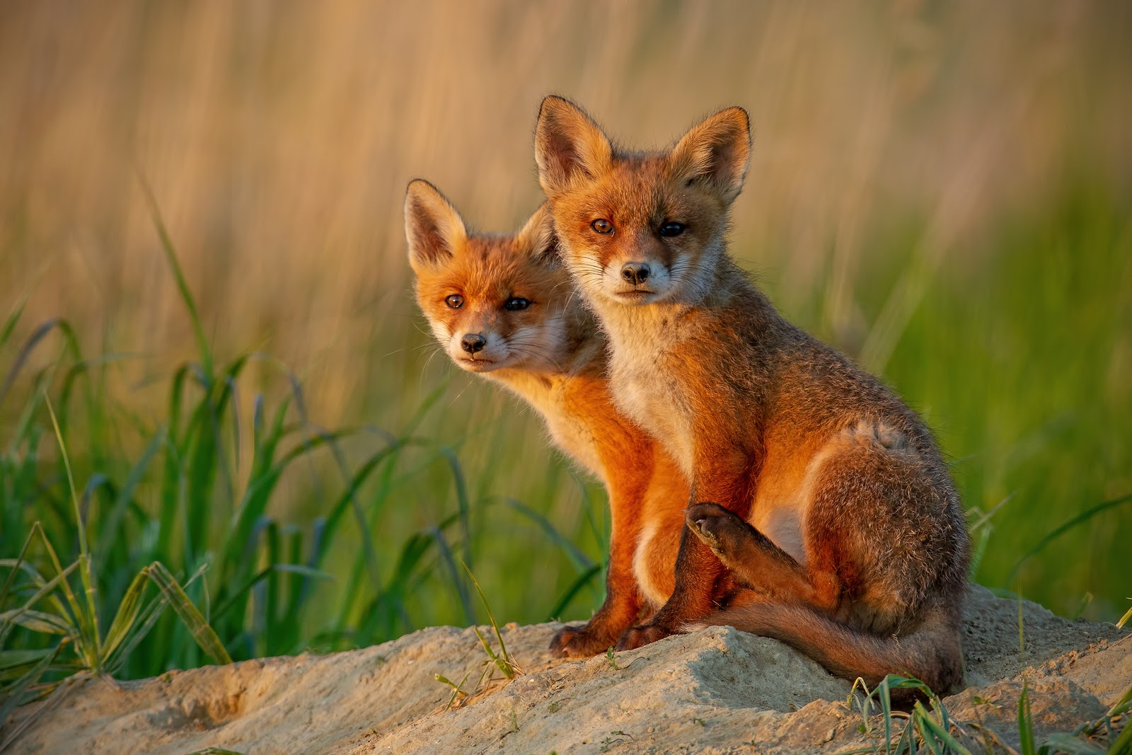 Red foxes, piping plovers battle for survival along N.J. coast - WHYY
