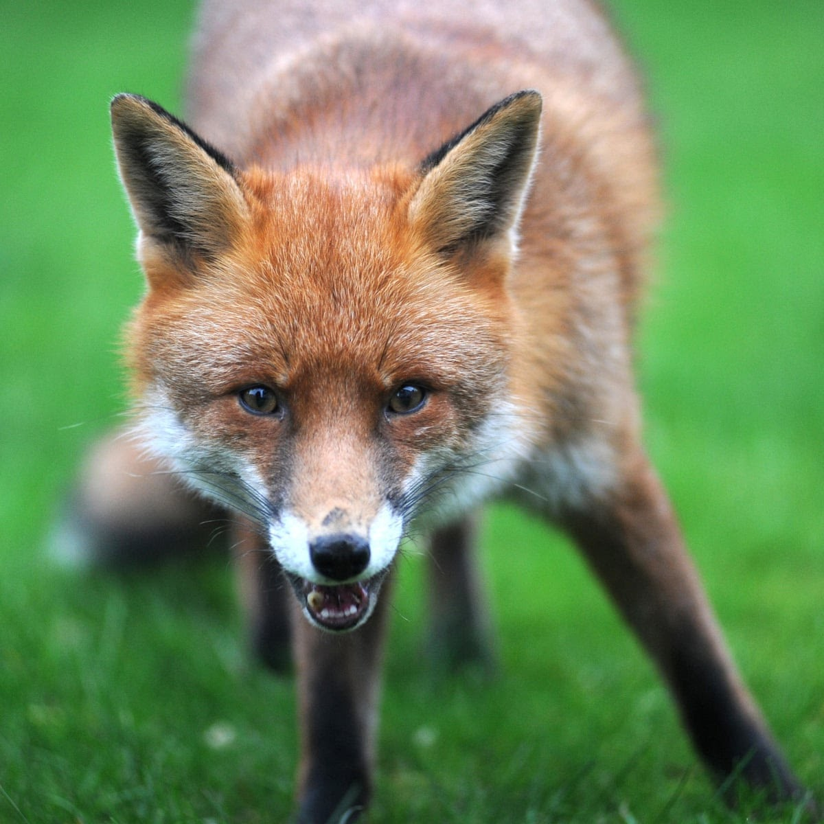The fox is not only nicer than the fox hunter, he's a deal more useful –  archive, 1982 | Hunting | The Guardian