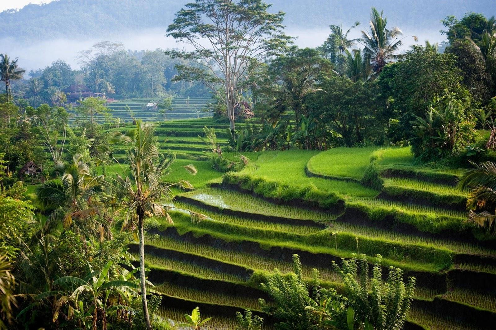 обои : Солнечный лучик, пейзаж, природа, Фотография, Зеленый, Холмы, Утро,  пальмовые деревья, Кустарники, Рисовый рис, Бали, Индонезия, Террасное  поле, 1600x1065 px 1600x1065 - - 619327 - красивые картинки - WallHere