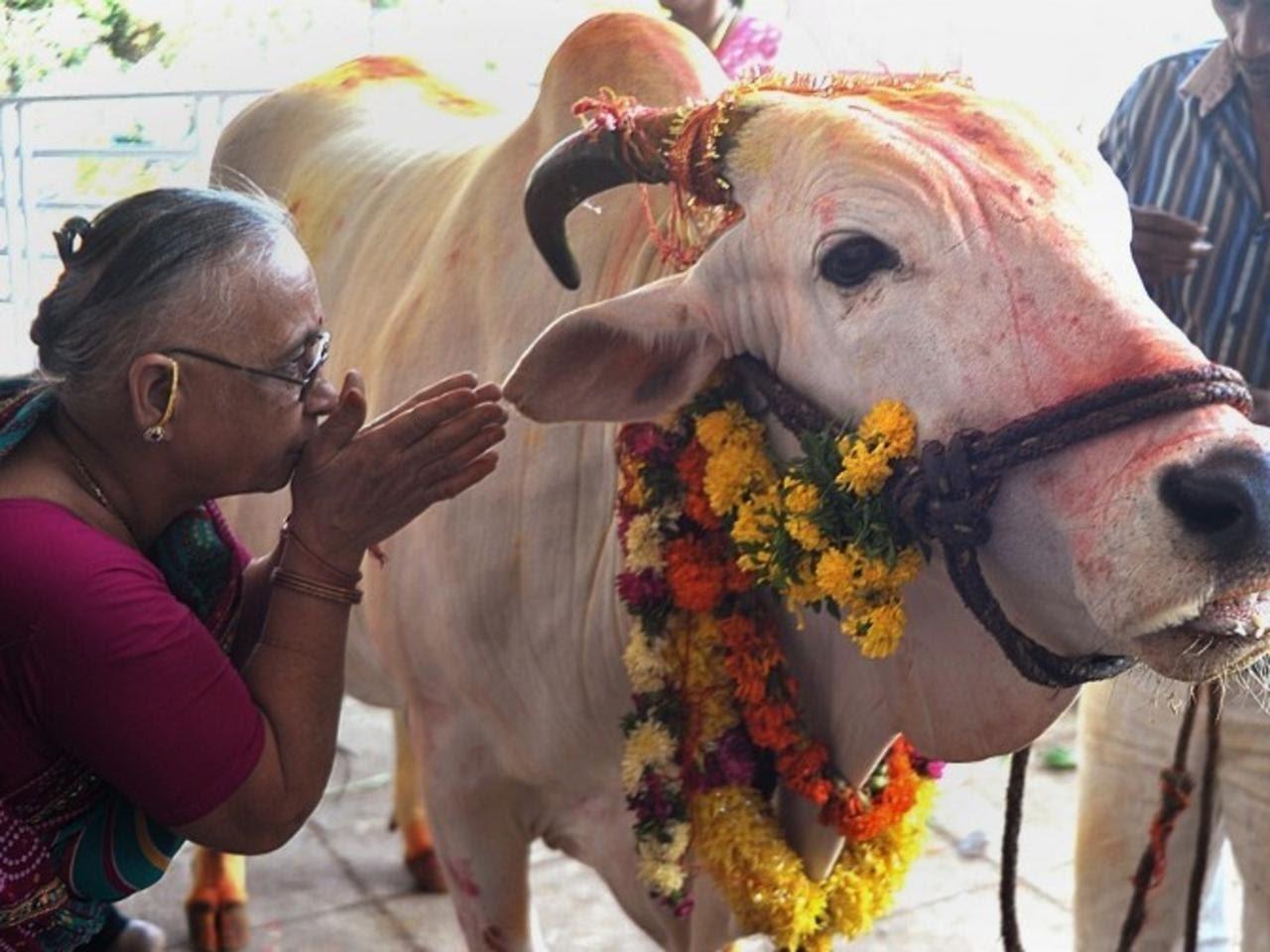 "Картинки по запросу ""india national cows"""