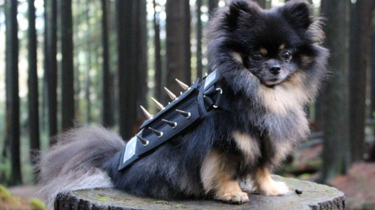 coyote-vest-new-method-of-protecting-small-dogs-after-the-increase-of-coyote-attacks-in-vancouver