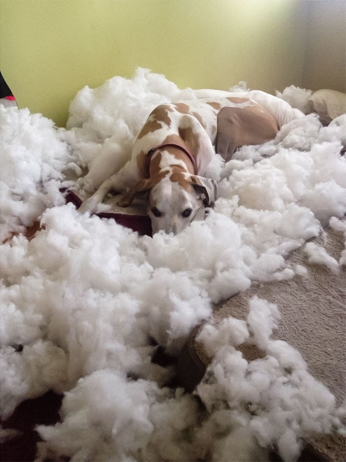 20-pets-that-destroyed-the-owners-things-but-it-seems-they-do-not-regret-it-a-bit