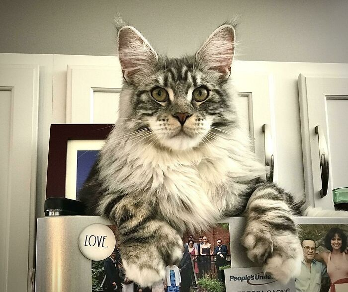 30-the-biggest-cats-that-amaze-you-with-their-size