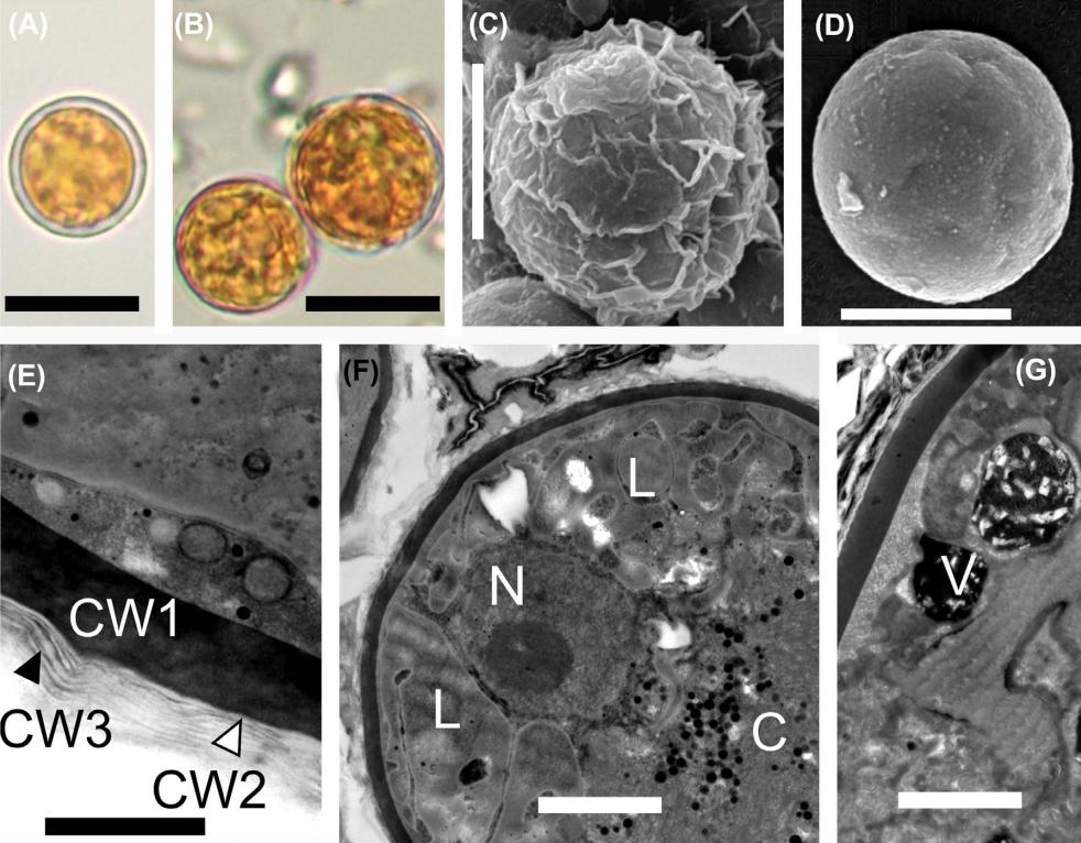 Микроводоросли Sanguina aurantia. Фото © FEMS Microbiology Ecology