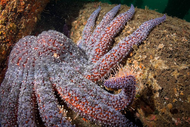 Пикноподия: Крупнейшая морская звезда ещё и самая быстрая. Без неё океан обречен на порабощение морскими ежами