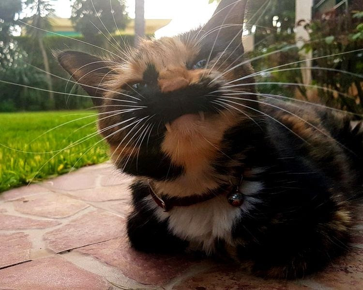 20-cats-with-outstanding-fangs-which-can-rightly-be-called-furry-vampurs