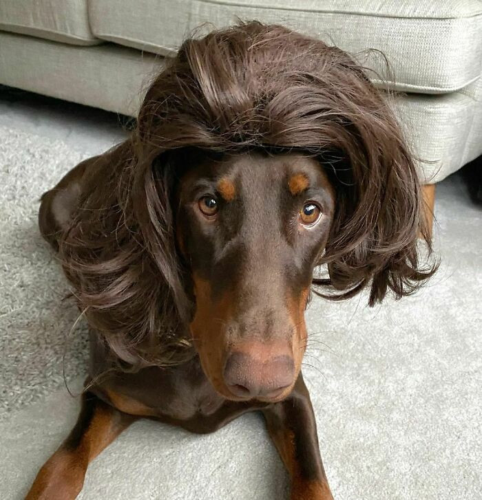 what-would-a-dog-wearing-a-wig-look-like-here-are-30-examples