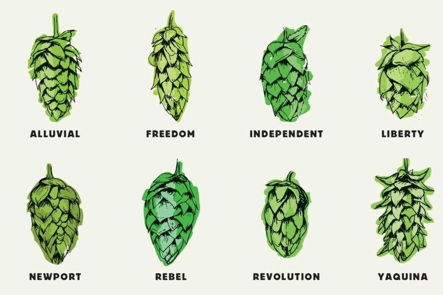 Виды хмеля, которые используются в пивоварении. Некоторые из них придают напитку более горький вкус, тогда как другие, например, Liberty, скорее используют для придания аромата